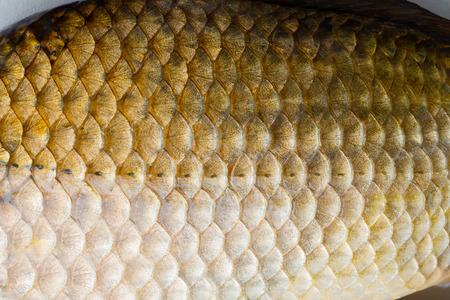 tinca tinca: fish scale