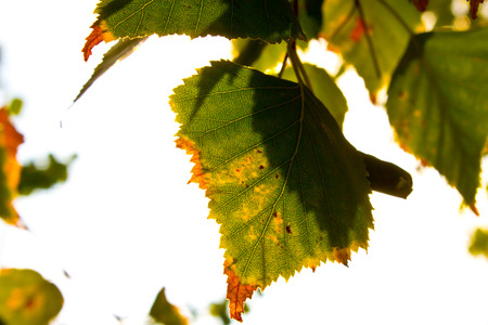 yellowing leaf Stock Photo