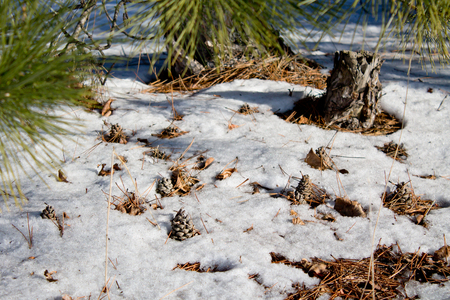 pine cone in the snow forest
