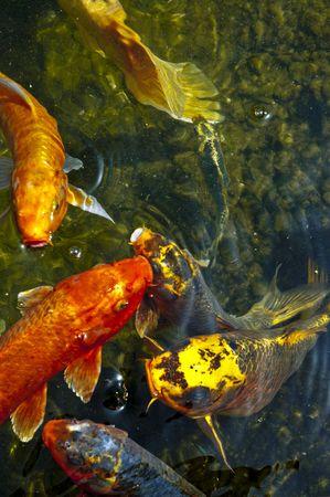 Koi carp, symbols of good luck and prosperity in Japan photo