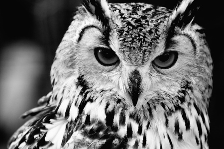 Eurasian Eagle-owl (Bubo bubo). Black and white close up portrait photo