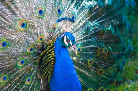 flaunt: Beautiful spread of a peacock Stock Photo