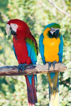 the two parrots: Two colorful laughing parrots
