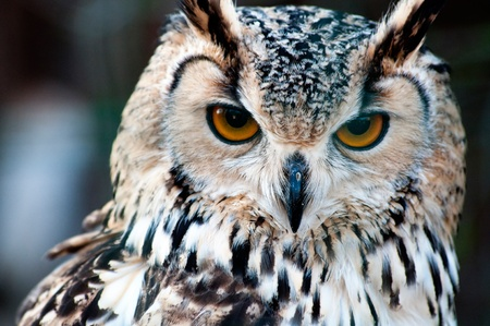 birds eye: Bengalese Eagle Owl (Bubo bengalensis) close-up portrait Stock Photo