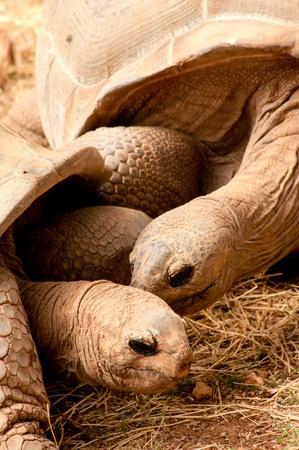 Close-up portrait of Aldabra Giant Tortoise couple photo
