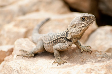 desert lizard: Desert Lizard laying on a rock