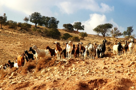 herdsman: Herd of sheep. Mediterranean. Cyprus