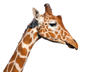 white background giraffe: Giraffe head isolated