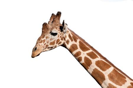 Giraffe head isolated on white photo