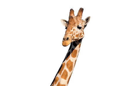 Giraffe head isolated on white background photo