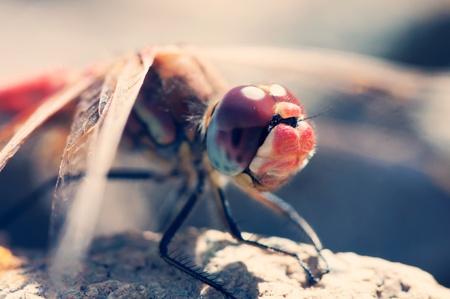 vulgatum: Dragonfly close-up portrait