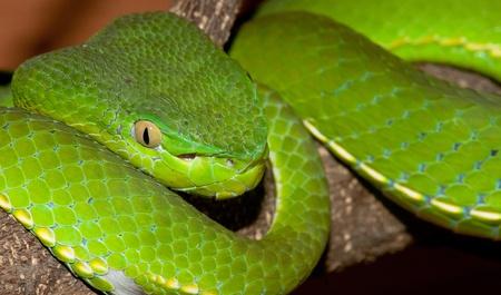 Close-up portrait of Venomous green viper photo