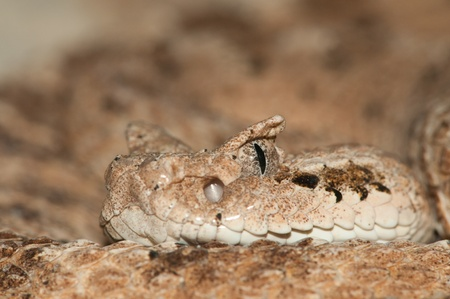 Desert Snake close-up portrait photo