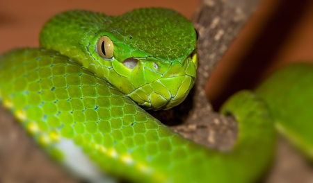 Venomous green viper close-up portrait photo