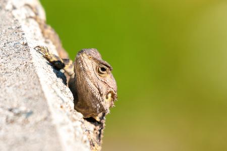 vivarium: Hiding lizard. Close-up portrait