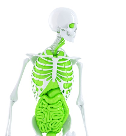 Human skeleton with internal organs. Isolated. Contains clipping path photo