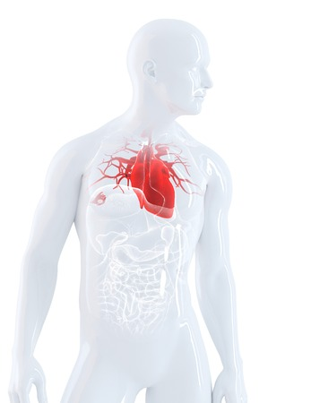 Human heart anatomy. Isolated. Contains clipping path Stock Photo