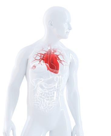Menschlichen Herzen Anatomie. Isoliert. Enthält Clipping-Pfad Standard-Bild - 28219154