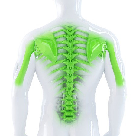 Male Backbone. 3d anatomical illustration. Isolated. Contains clipping path illustration