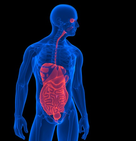 bowels: The human body. 3d render of a human internal organs. Contains clipping path Stock Photo