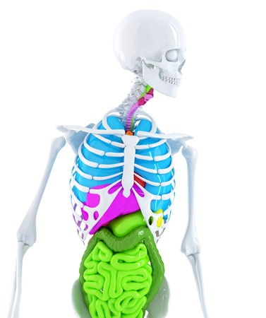 abdominal organs: 3d skeleton with coloured human organs. Isolated. Contains clipping path