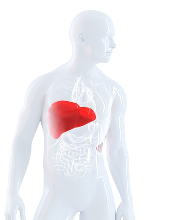 Male anatomy focused on liver. Isolated, contains clipping path photo
