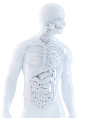bowels: Human anatomy. Isolated, contains clipping path Stock Photo