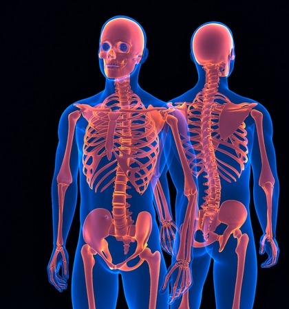Human skeleton close up. Front and back view. Contains clipping path photo