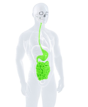Male digestive system. Isolated, contains clipping path photo