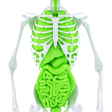 Human skeleton with internal organs. Isolated. Contains clipping path Stock Photo - 28219358