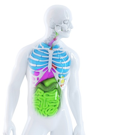 gut: 3d illustration of the human anatomy. Isolated. Contains clipping path Stock Photo