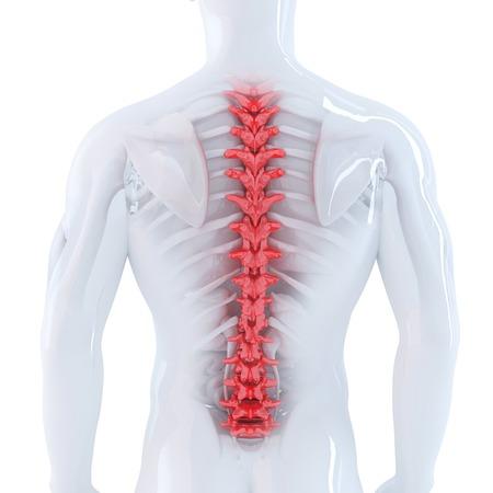 medula espinal: 3d ilustración de la columna vertebral humana. Aislado. Contiene trazado de recorte Foto de archivo