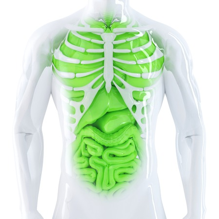 digestive health: Human internal organs. Isolated. Contains clipping path