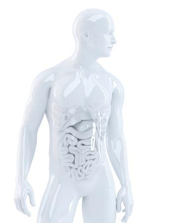 organi interni: Corpo umano con organi interni. Illustrazione 3d. Isolato. Contiene percorso di clipping