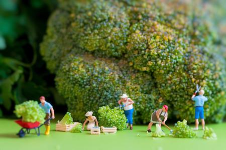 Groep van boeren oogsten een reusachtige bloemkool Macrofotografie Stockfoto