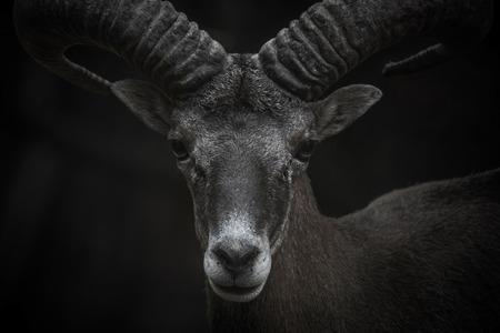 mouflon: Cyprus Mouflon closeup portrait