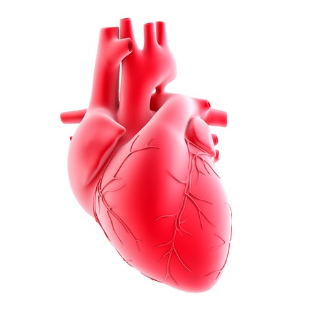 heart intelligence: Human heart. 3d illustration. Isolated, contains clipping path Stock Photo