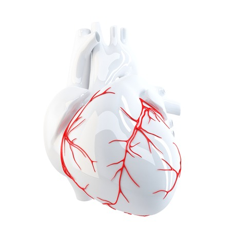 coronary artery: Human Heart. Isolated. Contains clipping path Stock Photo