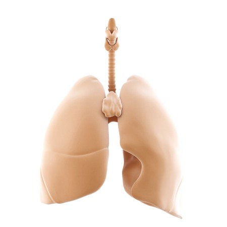 3d rendered of the human lungs. Isolated over white. Contains clipping path photo
