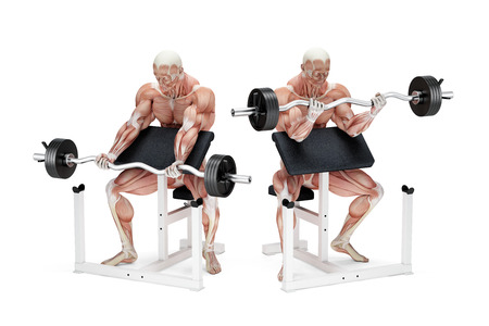 preacher: Preacher curl biceps exercise. Anatomical illustration. Isolated over white. Contains clipping path