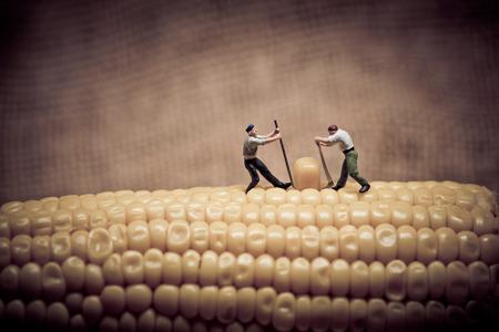 champ de mais: Corn maize harvest. Color tone tuned. Macro photo