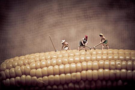 mini farm: Miniature farmers at corn field. Color tone tuned. Macro photo