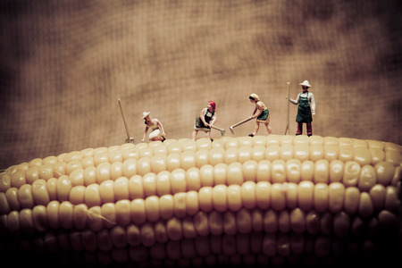 Happy farmers harvesting corn. Macro photo. Banco de Imagens