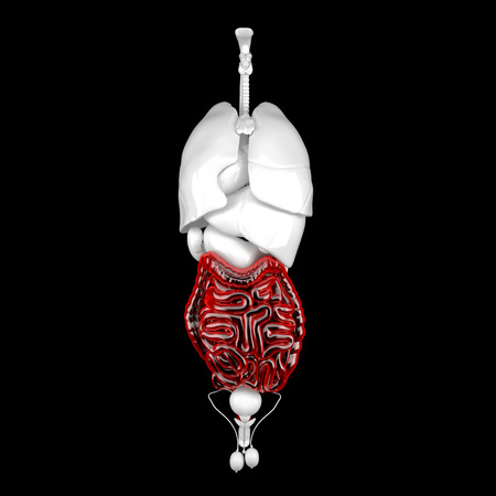 Male digestive system. Anatomical 3d illustration. Contains clipping path