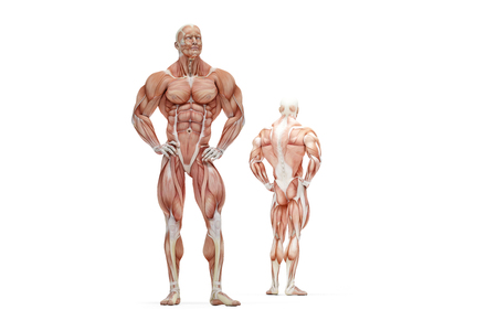 athletic: 3D illustration of Human Muscle Anatomy. Isolated.