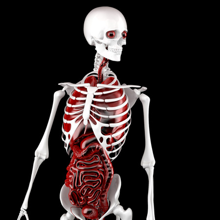 Human Male Anatomy. Skeleton and Internal Organs. 3D illustration. Contains clipping path.