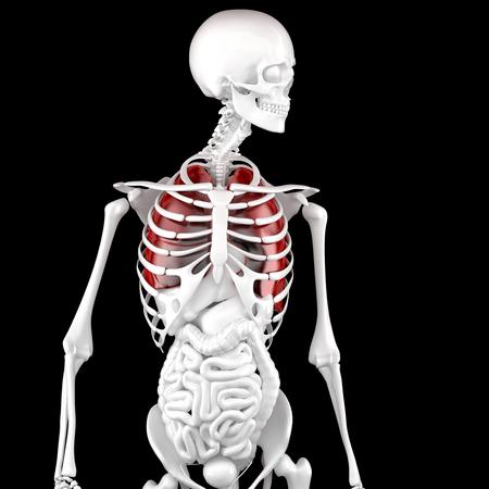 Menschliche Männliche Anatomie. Skelett Und Hervorgehoben Lungs. 3D ...