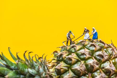 Farmer harvesting a giant pineapple.
