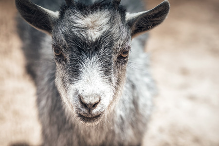 Close-up portrait of young goat