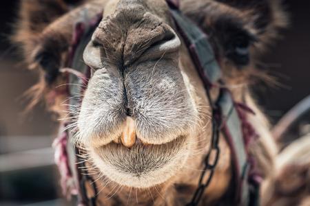 Portrait of a cute camel